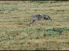 1319_lonewolfwalking