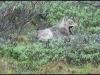 1351_lazywolf