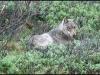 1359_lazywolf