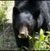 Cassiar Highway – Telegraph Creek – Bears